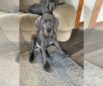 Great Dane Puppy For Sale in ROAMING SHORES, OH, USA