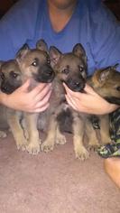 German Shepherd Dog Dogs for adoption in LAGRANGE, IN, USA
