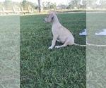 Small #1 Great Dane