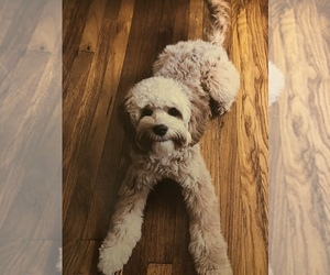 Poodle (Standard)-Unknown Mix Puppy for sale in MILWAUKEE, WI, USA