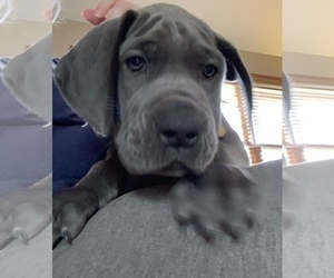 Great Dane Puppy for Sale in ROAMING SHORES, Ohio USA