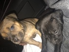 American Pit Bull Terrier Puppy For Sale in MIAMI, FL, USA