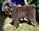 Tibetan Mastiff Puppy For Sale in Balatonszabadi, Somogy,