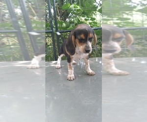Beagle Puppy for Sale in LAFAYETTE, Indiana USA