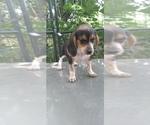 Small Photo #1 Beagle Puppy For Sale in LAFAYETTE, IN, USA