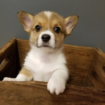 View Ad: Pembroke Welsh Corgi Puppy for Sale, Minnesota ...