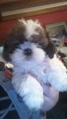 Shih Tzu Puppy For Sale in CENTRALIA, MO, USA