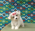 Maltese Puppy For Sale in NORTH, NC, USA