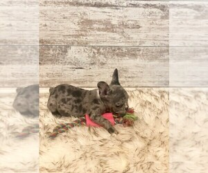 French Bulldog Puppy for sale in BLACK WALNUT, MO, USA