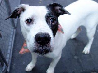 Denim Dane - Pit Bull Terrier / Staffordshire Bull Terrier / Mixed (short coat) Dog For Adoption