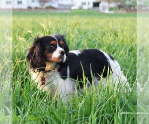 Mother of the Cavalier King Charles Spaniel puppies born on 08/30/2020