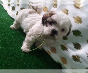 Shih Tzu Puppy for sale in SCOTTVILLE, MI, USA