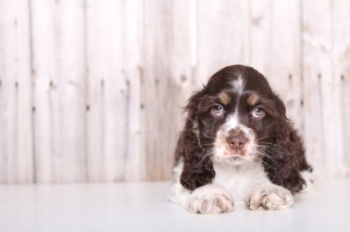 Cocker Spaniel Puppy For Sale in MOUNT VERNON, OH, USA