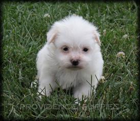 View Ad Havanese Puppy For Sale Iowa Wayland Usa