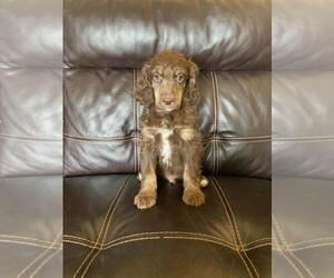 Poodle (Standard) Puppy for sale in FINLAYSON, MN, USA