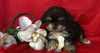 Mal-Shi-Maltese Mix Puppy For Sale in SAN FRANCISCO, CA, USA
