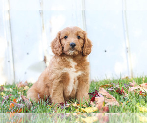 Goldendoodle Puppy for Sale in KILLINGER, Pennsylvania USA
