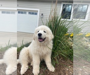 Great Pyrenees Puppy for Sale in CO SPGS, Colorado USA