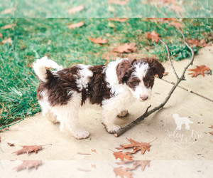 Bernedoodle Puppy for Sale in CARLOCK, Illinois USA