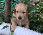 Small #10 Golden Retriever