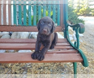 Labrador Retriever Puppy for Sale in SANTA CLARITA, California USA