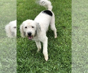 Portuguese Water Dog Puppy for sale in CYPRESS, TX, USA