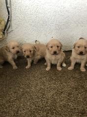 Golden Retriever Puppy for sale in HESPERIA, CA, USA