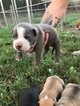 American Pit Bull Terrier Puppy For Sale in DARDEN, TN, USA