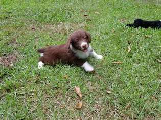 Aussiedoodle Puppy For Sale in PRINCETON, NC, USA