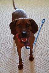 Leon (JS-TN) - Redbone Coonhound (short coat) Dog For Adoption