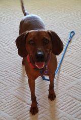 Leon (JS-TN) - Redbone Coonhound (short coat) Dog For Adoption