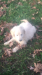Goldendoodle Puppy For Sale in COLUMBIA, KY,