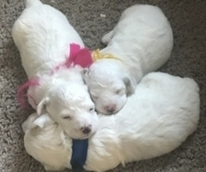 Bichon Frise Puppy for Sale in ATL, Georgia USA