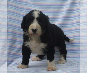 Bernedoodle Puppy for sale in THORP, WI, USA
