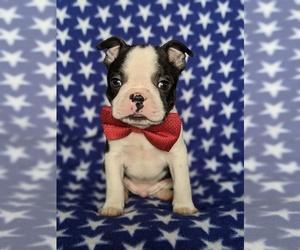 Boston Terrier Puppy for sale in EPHRATA, PA, USA