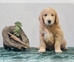 Puppy 1 Goldendoodle-Poodle (Miniature) Mix