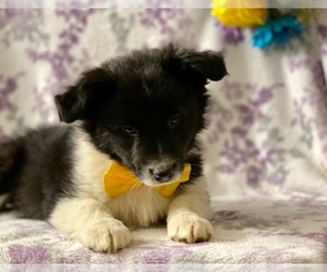 Border-Aussie Puppy for sale in LANCASTER, PA, USA
