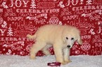 Poodle (Standard) Puppy For Sale in CANYON LAKE, Texas,