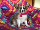 Papillon Puppy For Sale in EPHRATA, PA, USA