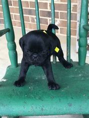 Pug Puppy For Sale in BRIDGEWATER, VA, USA
