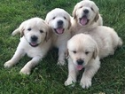 Golden Retriever Puppy For Sale in RICHWOOD, OH,