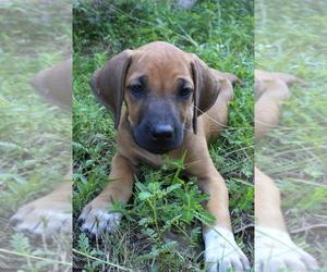 Rhodesian Ridgeback Puppy for Sale in WILLIS, Texas USA