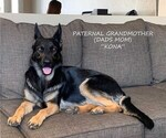 Small #16 German Shepherd Dog-Wolf Hybrid Mix