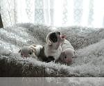 Small #20 English Bulldog