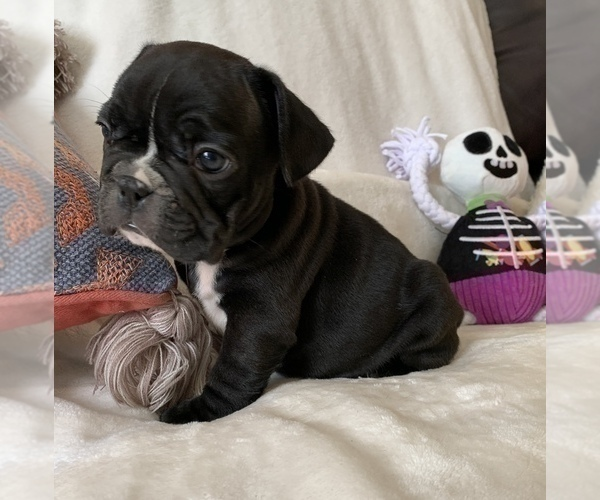 Medium Photo #1 French Bulldog Puppy For Sale in JOHNS ISLAND, SC, USA