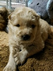 AKC Chow Chow puppies