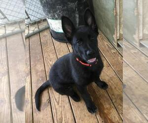 German Shepherd Dog Puppy for sale in LAFAYETTE, MS, USA