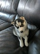 Siberian Husky Puppy For Sale in TROY, IL, USA