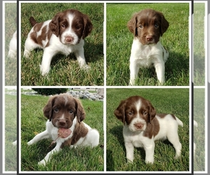 English Springer Spaniel Puppy for sale in FARGO, ND, USA