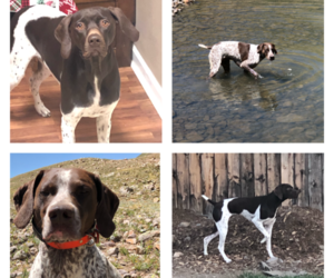 German Shorthaired Pointer Puppy for Sale in COLONA, Colorado USA